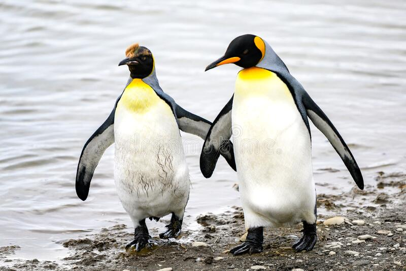 Two funny king penguins - Aptendytes patagonica - communicate by touching wings on beach in  South Georgia stock photography
