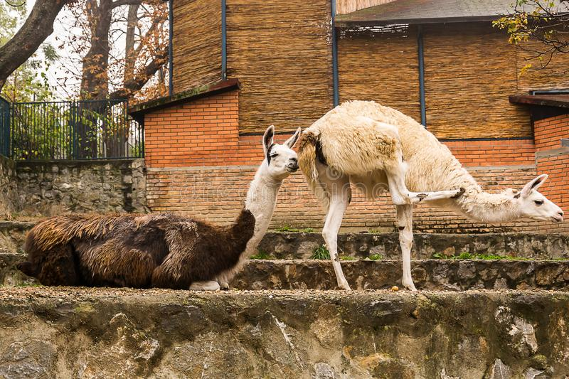Llama -lama glama. Two funny llama at the zoo. is a domesticated South American camelid, widely used as a meat and pack animal by Andean cultures since the Pre royalty free stock photography