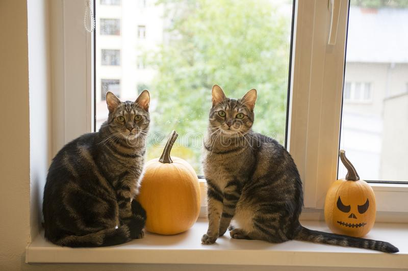 Two funny marble cats sittin on window with halloween pumpkins stock photography