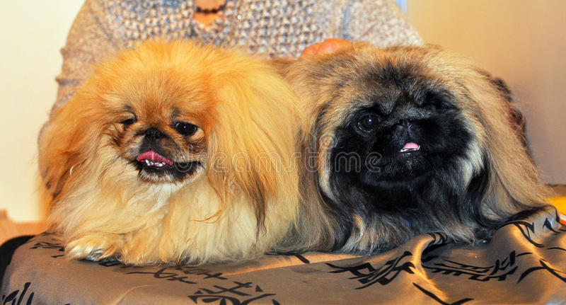 Two funny Pekingese dogs. The Pekingese (the Lion-Dog, Pekingese Lion-Dog, Pelchie Dog, Peke) is an ancient breed of toy dog, originating in China. They are stock images