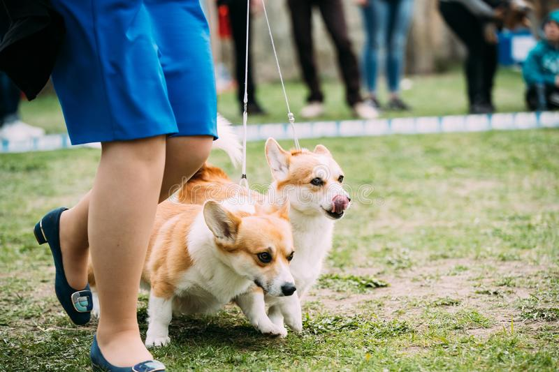 Two Funny Pembroke Welsh Corgi Dogs Running Near Woman In Green Grass stock images