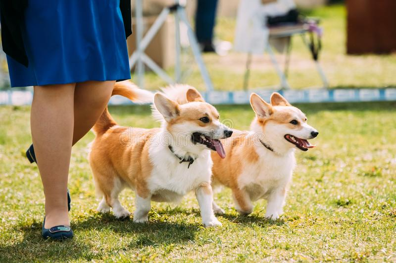 Two Funny Pembroke Welsh Corgi Dogs Running Near Woman In Green Grass stock photography