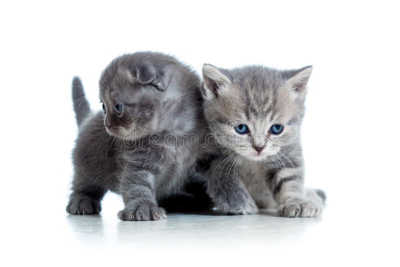 Two funny Scottish cat kittens play together. Two funny cat kittens play together royalty free stock photos