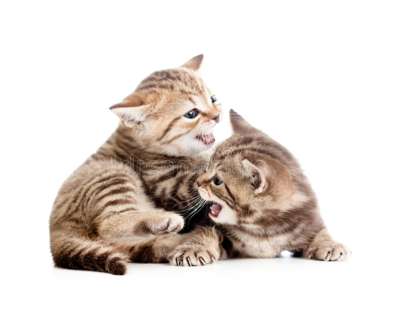Two funny small kittens playing with each other. Two funny small Scottish kittens playing with each other royalty free stock photos