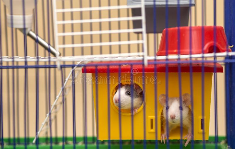 Two funny white and gray tame curious mouses hamsters with shiny eyes looking from bright yellow cage behind metal bars. Keeping. Pet friends at home, care and stock photos