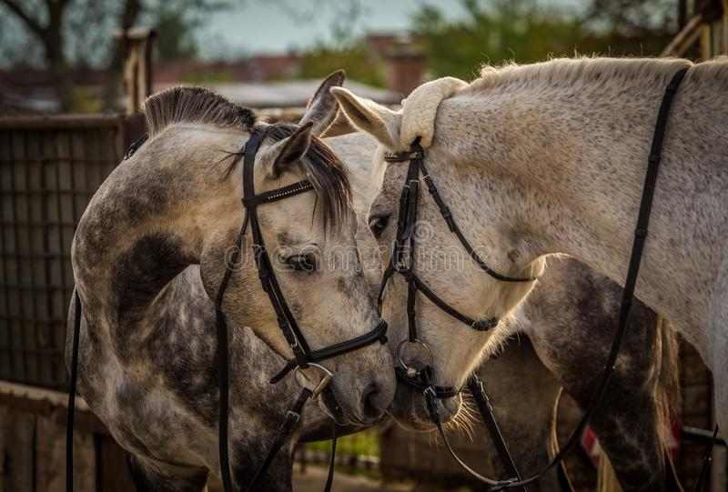 Two white horses playing in the stables. stock photos