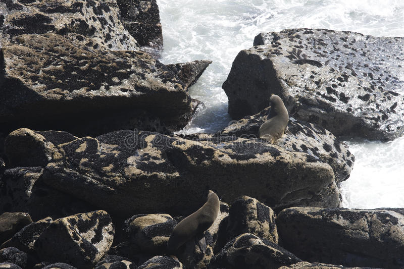 Two furry seals on rocks. Two young and furry seals on rocks in New Zealand royalty free stock photos