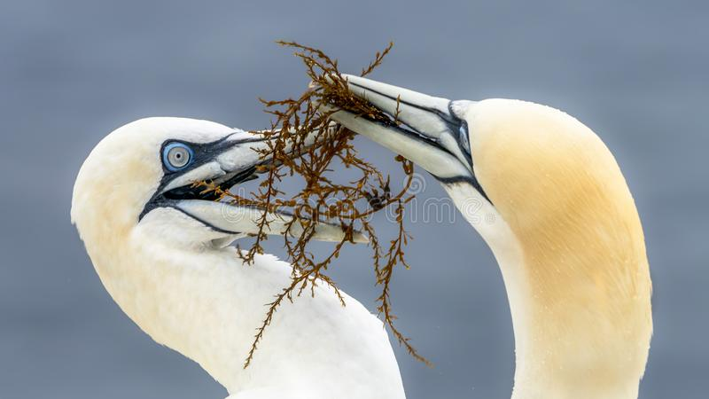 Two Gannet Morus bassanus on the Island helgoland in germany. Blue background stock images