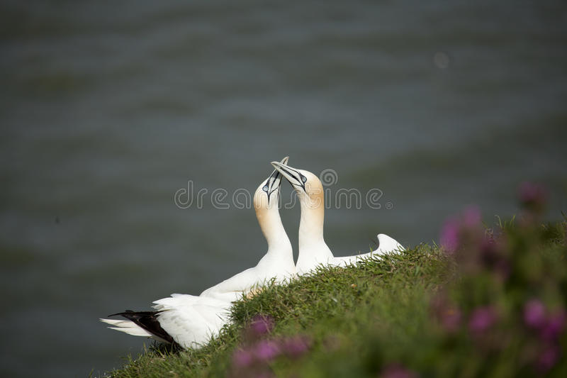 Two Gannets stock photography