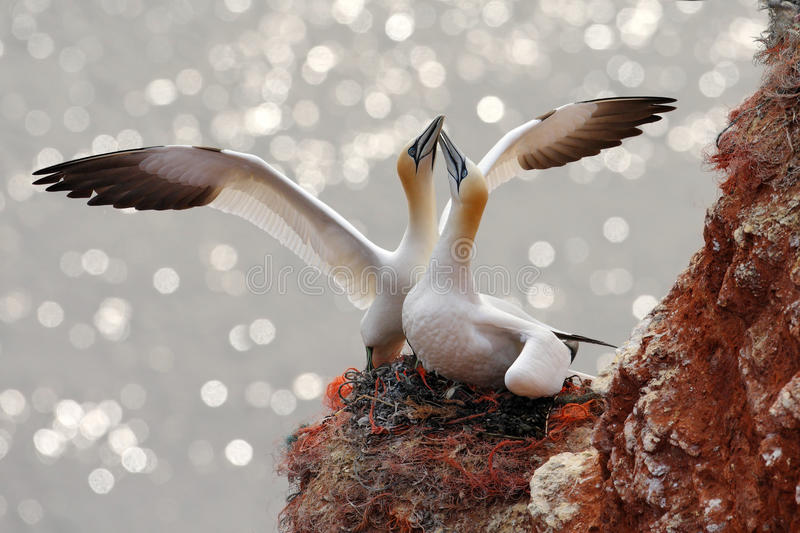 Two gannets. Bird landind to the nest with female sitting on the egs. Wildlife scene from nature. Sea bird on the rock cliff. royalty free stock photos