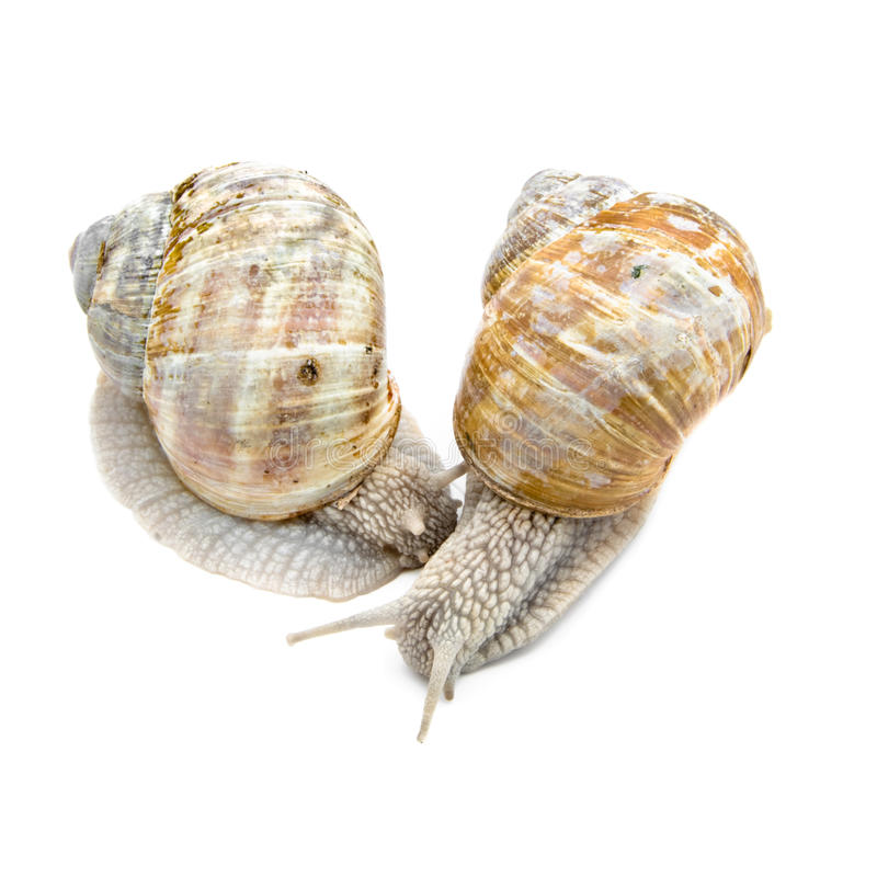Two garden snails. On white background stock image