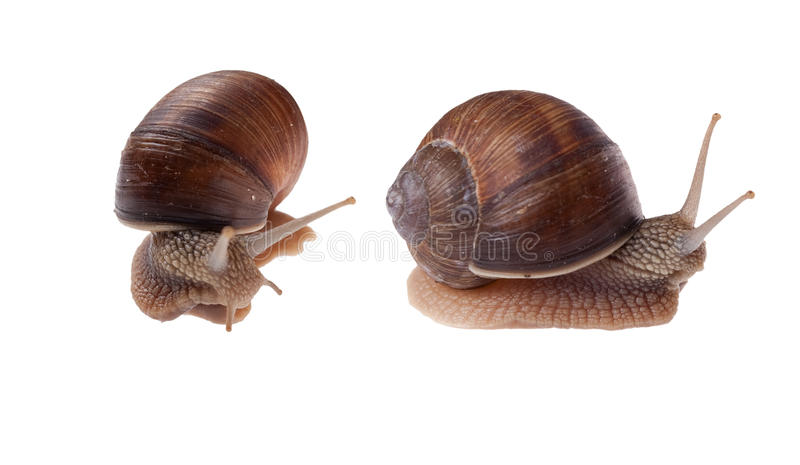 Download Two Garden Snails Isolated On White. Stock Photo - Image: 9439972
