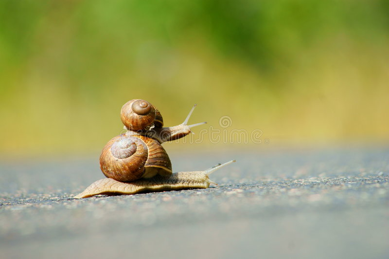 Two garden snails racing. Garden snails racing on road royalty free stock images