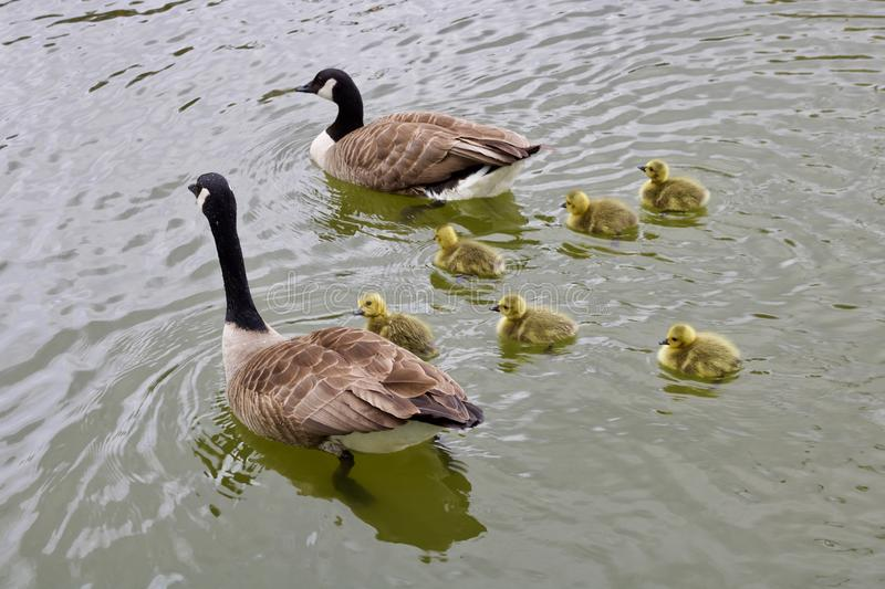 Two geese and five goslings swimming in calm water stock photo