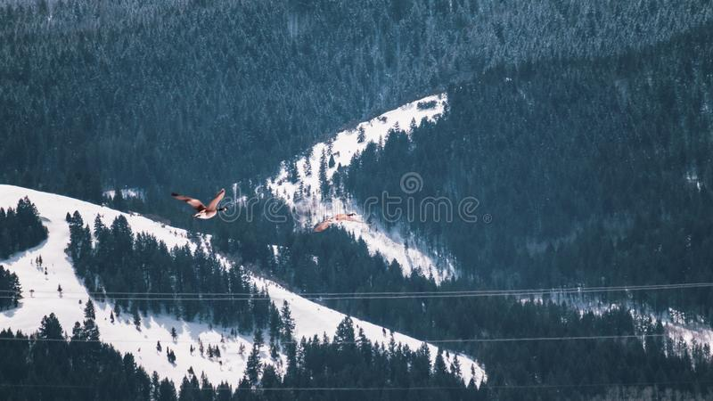 Two Geese Flying Near Forest in Winter stock photos