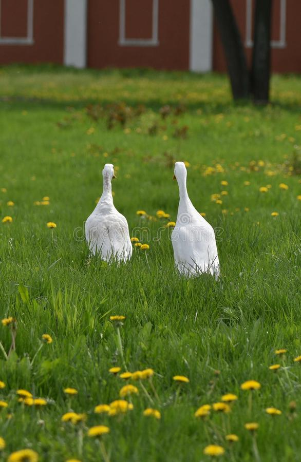 Two Geese on the green stock photography