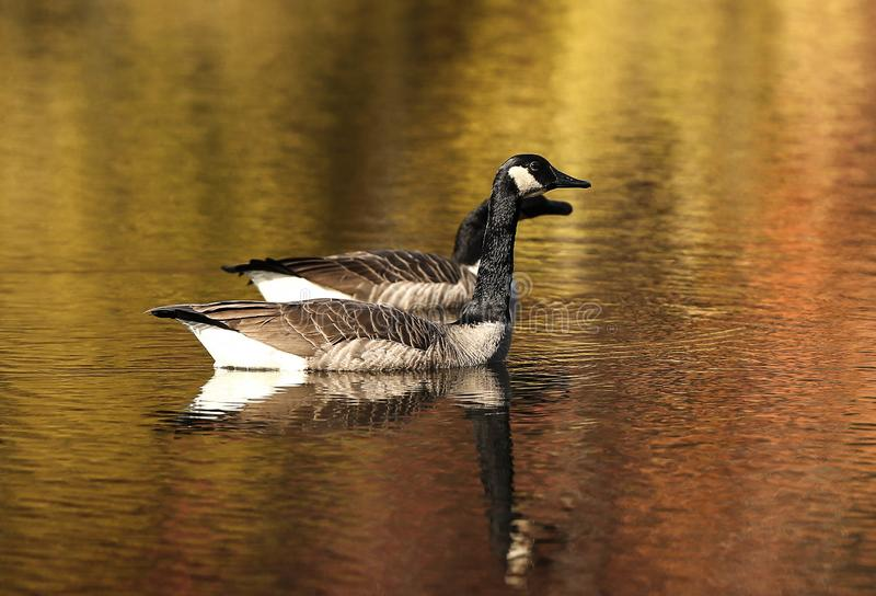 Two geese take a swim on a cold pond in the fall of Indiana. The fall colors of the trees are reflected onto the pond royalty free stock photos