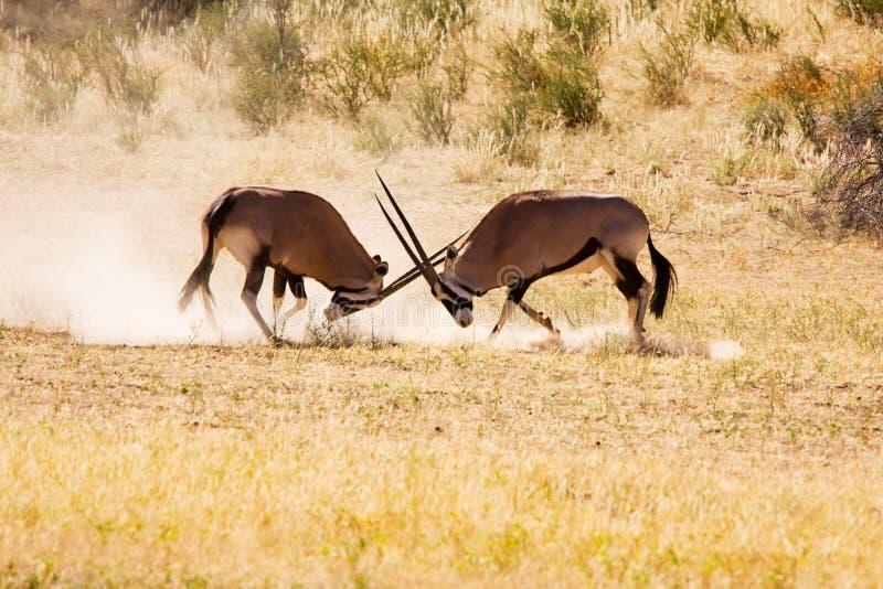 Two Gemsbok antelope males fighting stock photos