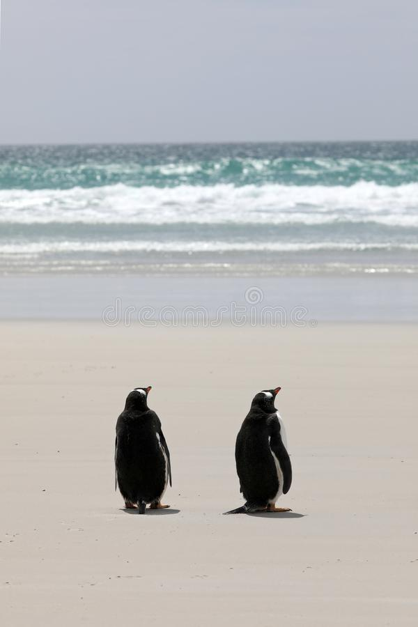 Two Gentoo penguins are standing on the beach in The Neck on Saunders Island, Falkland Islands stock images