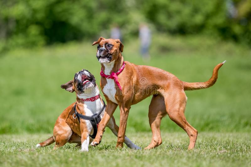 Two German Boxer Dogs playing in a field. Two brown and white boxer puppy dog with floppy ears short haired dog running jumping and playing, in a park, field royalty free stock image