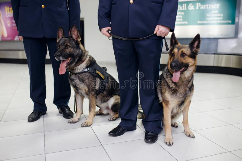 A two German shepherd dogs for detecting drugs sittings near customs officers inside airoport stock image