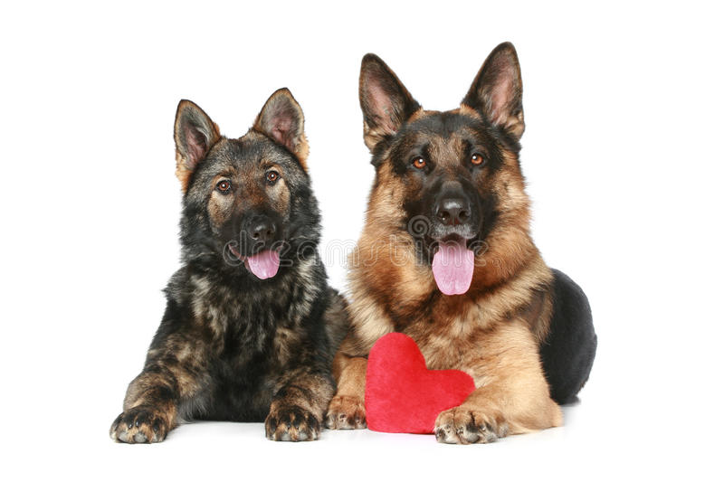 Download Two German Shepherd Dogs With Red Valentine Heart Stock Photography - Image: 17817922