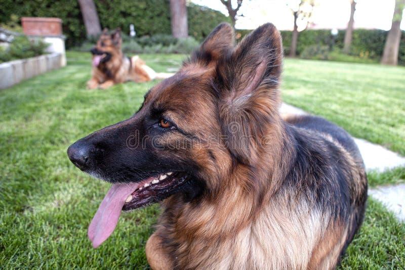 Two german shepherd in the garden stock photography