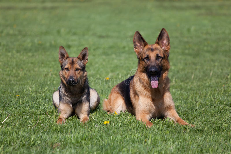 Two German Shepherds. Laying on the green grass royalty free stock image