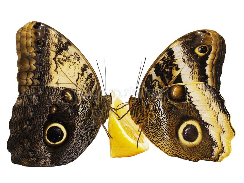 Two giant owl butterflies feed on orange fruit isolated on white background. Two giant owl butterflies, the forest one Caligo eurilochus, and the yellow-edged stock photo