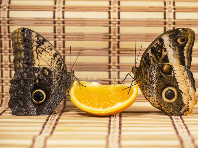 Two giant owl butterflies feed on orange fruit isolated on white background. Two giant owl butterflies, the forest one Caligo eurilochus, and the yellow-edged stock photos