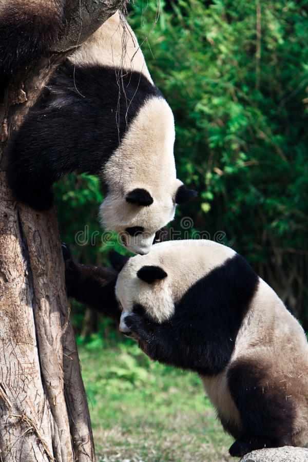 Two Giant Panda. Is playing. One climbs up the tree, the other stand on the rock stock photography