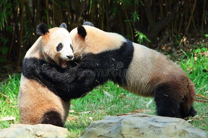 Download Two giant Pandas playing stock photo. Image of bear, wild - 24230766