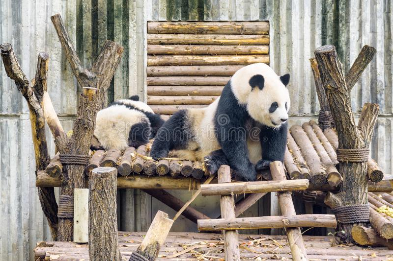 Two giant pandas resting after breakfast. Cute panda bear. Two giant pandas resting after breakfast. Cute sitting panda bear. Amazing wild animals royalty free stock photography