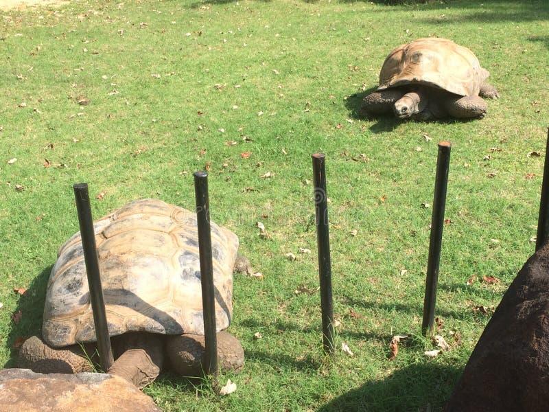 Two giant turtle royalty free stock photo