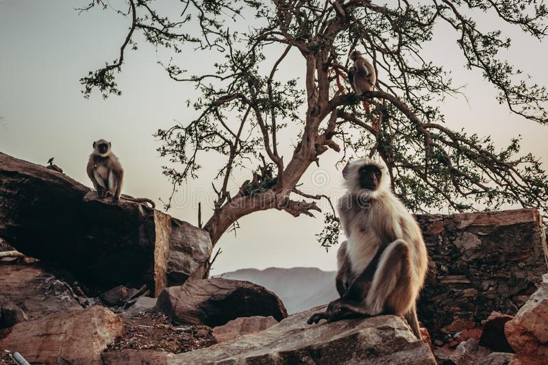 Two gibbon monkeys sitting on the rocks in Pushkar, India with tree in the background royalty free stock images
