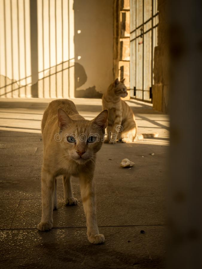 Palermo alley cats with sunrise soft light in background. Two ginger alley cats captured with the soft light of sunrise casting long shadows in the background stock photos
