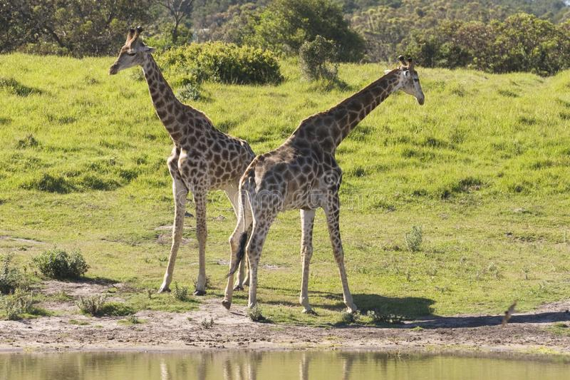 Download Two giraffe stock image. Image of plain, culture, africa - 9656033