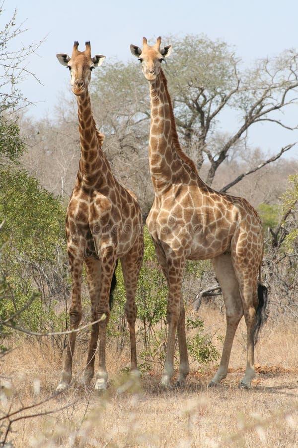 Two Giraffe stock image