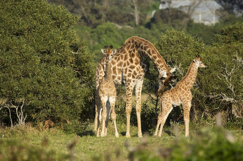 Two Giraffe babies with an adult stock photography