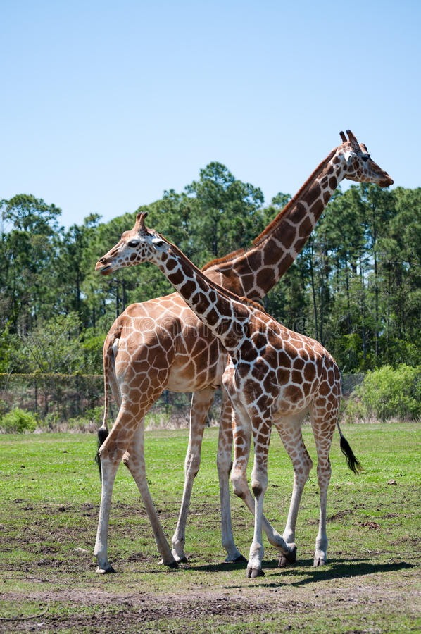 Download Two giraffes stock photo. Image of head, spot, height - 16226358