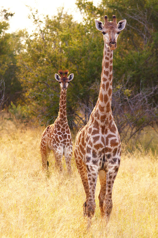 Download Two giraffes stock image. Image of environment, natural - 19159377