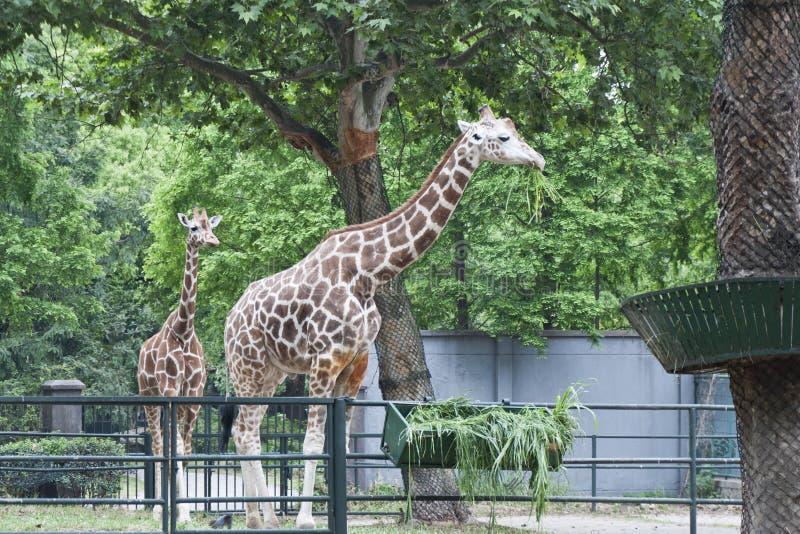 Two Giraffes Royalty Free Stock Photo
