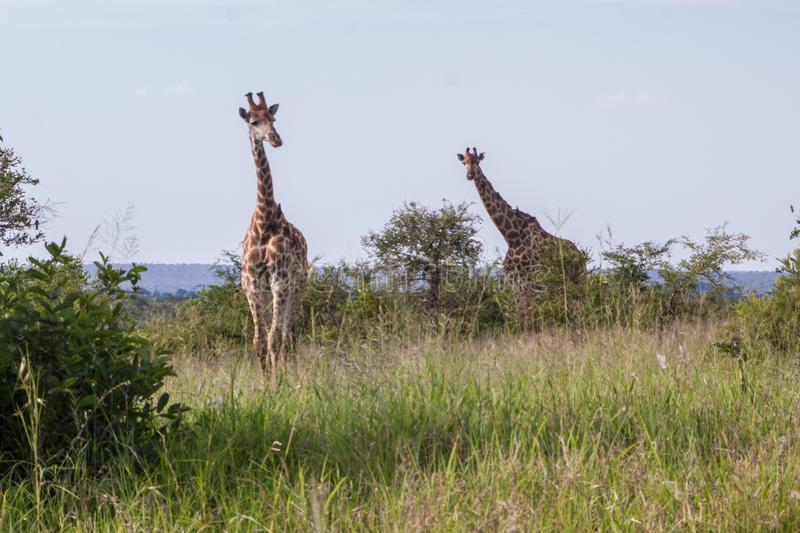 Two giraffes in African savanna stock photos