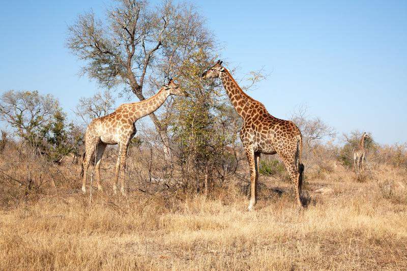 TWO GIRAFFES GRAZING IN THE EARLY MORNING stock image