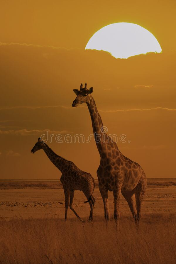 Free Two Giraffes In The Bush At Sunset Stock Photo - 173972350