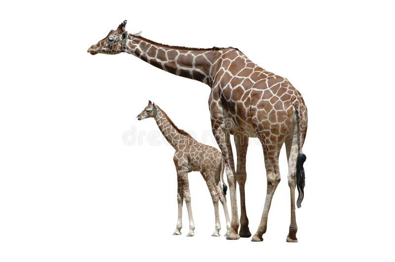 Two Giraffes Isolated on White stock photos