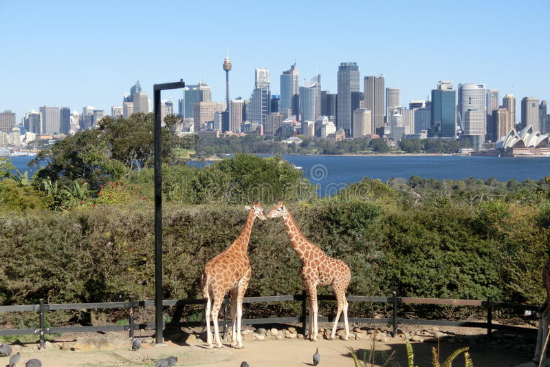 Two giraffes kissing in Taronga Zoo in Sydney stock images