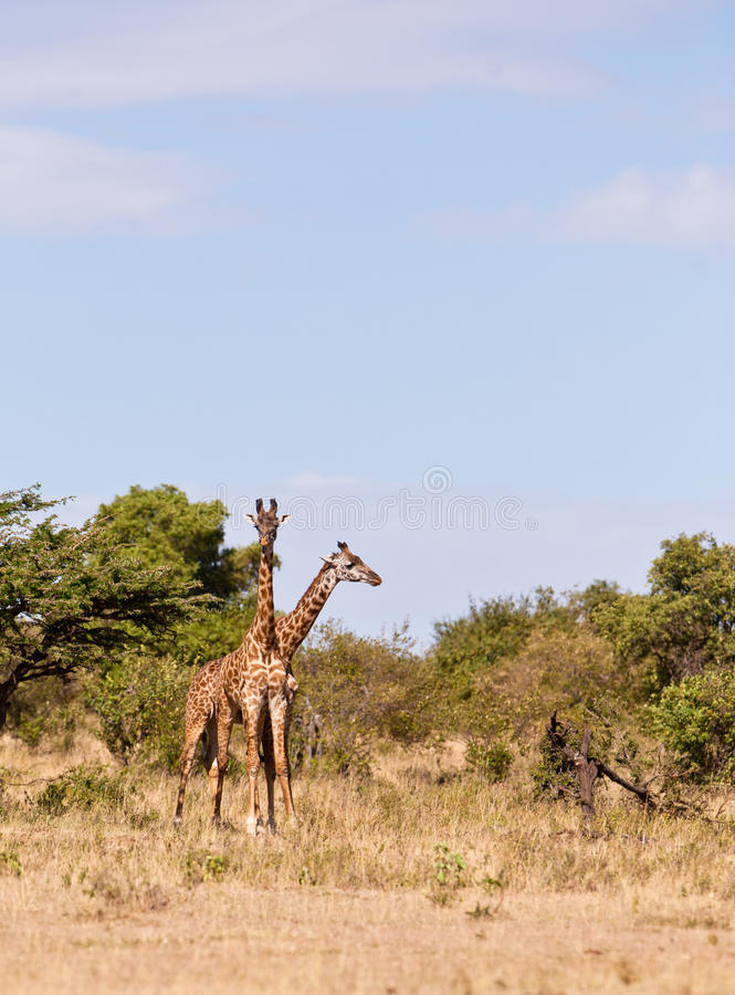 Two Giraffes In One Royalty Free Stock Photography