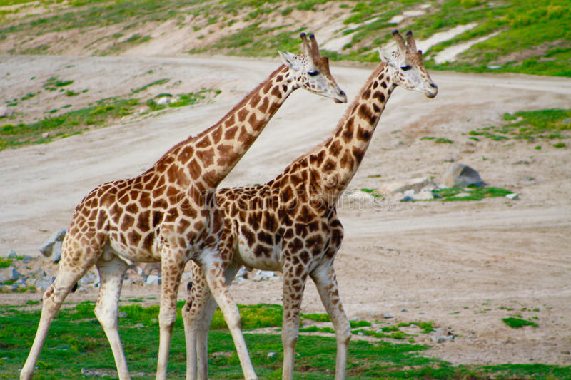 Two Giraffes Roaming the Grassland. S of the San Diego Wild Animal Park in Southern California royalty free stock image