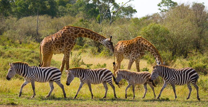 Two giraffes in savannah with zebras. Kenya. Tanzania. East Africa. royalty free stock images